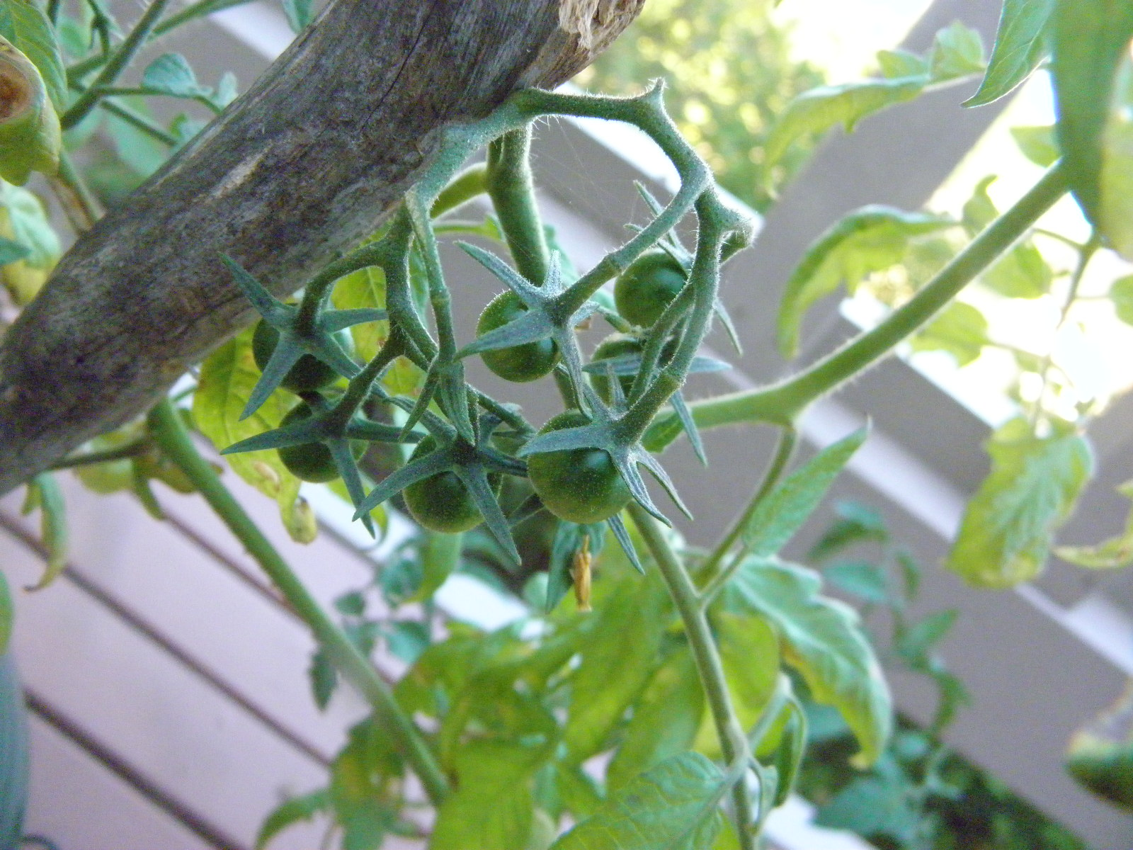 small green tomatoes on the plant
