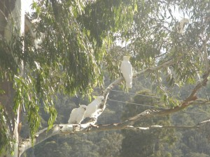 white cockatoos in the trees