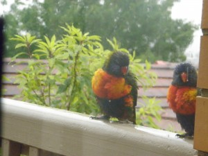 funny lorikeet expression one of couple
