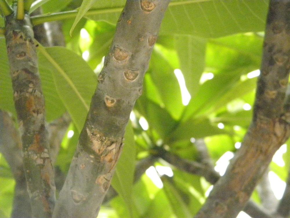 frangipani leaves close up