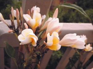 yellow and white frangipani flowers