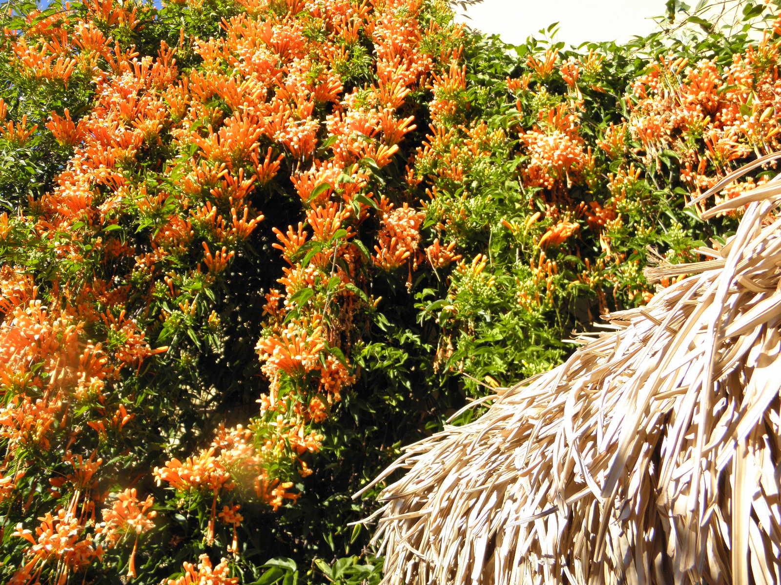 blanket of orange flowers, with straw gazebo underneath