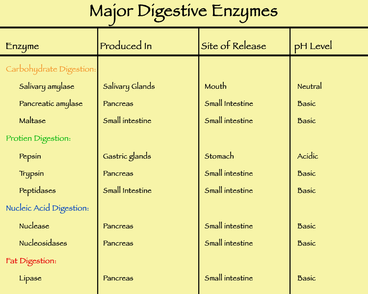 list of major digestive enzymes