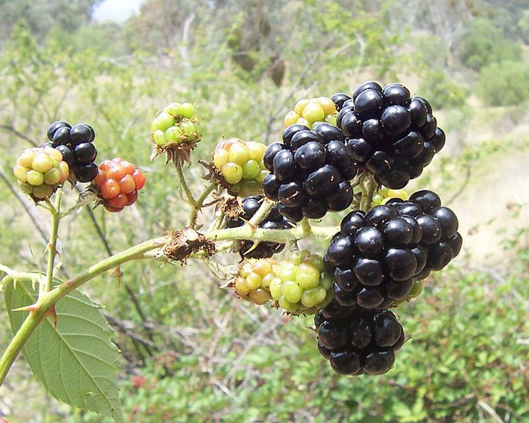 blackberries on a bush in the wild