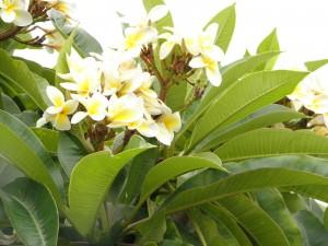 frangipani flowers in their tree