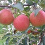 Narnia's apple