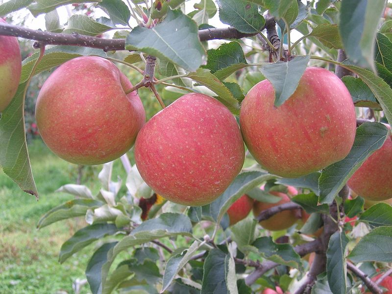 magical apples
