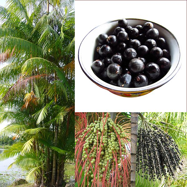 acai berries and trees