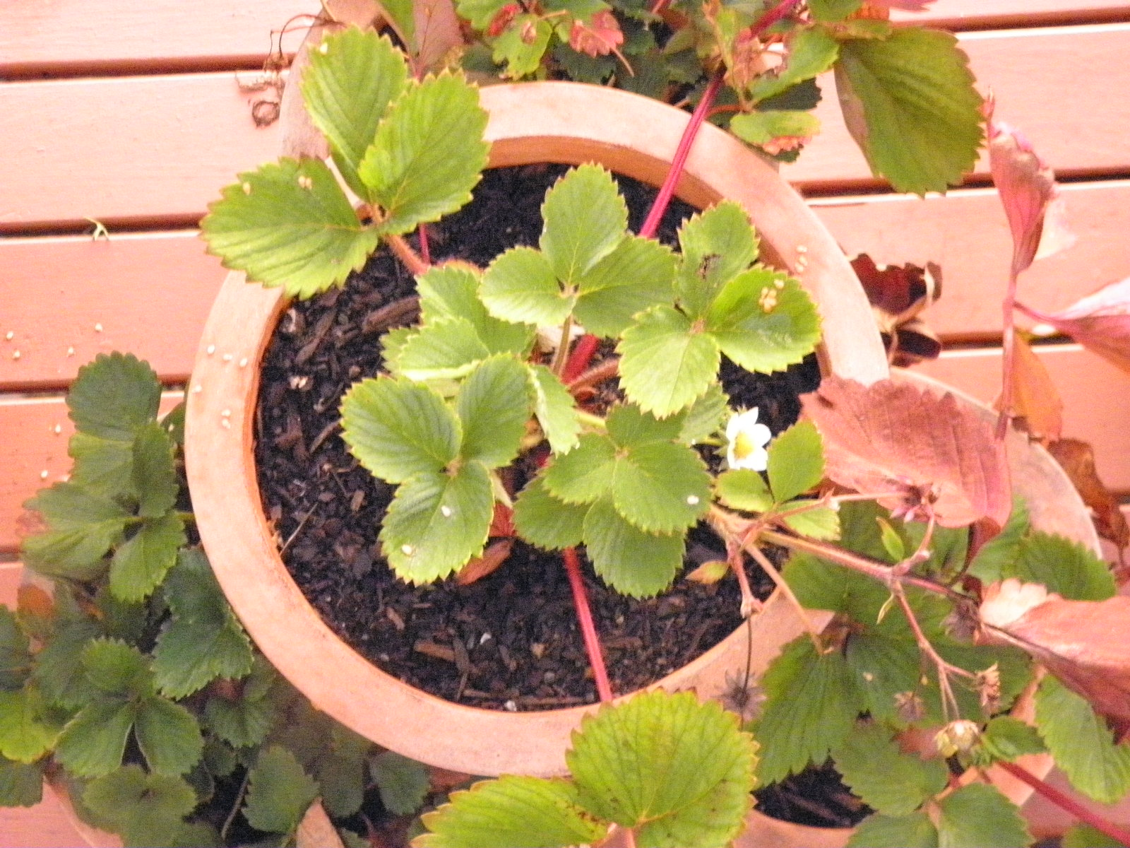 2012 strawberries in pot