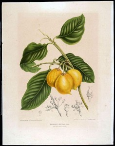 Garcinia fruit drawing