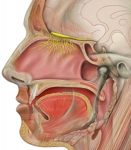 olfactory anatomy - sense of smell
