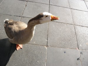 goose outside a cafe in melbourne