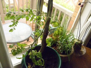 looking out window across potted tomato plant and herb plant