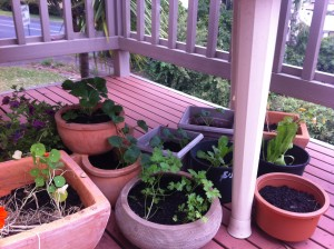 cluster of leafy greens in pots