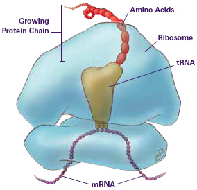 mRNA ribosome and protein synthesis