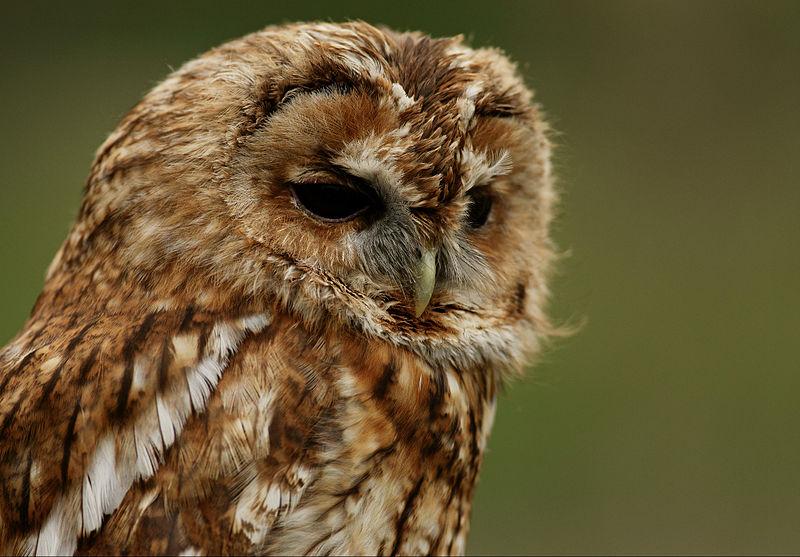 feathery owl