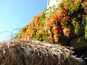 hanging orange climber plants and thatched roof