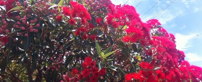 bright red grevillea flowers on bush