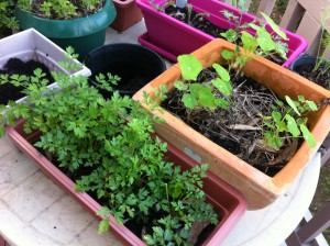 parsley and nasturtiums on the balcony in pots