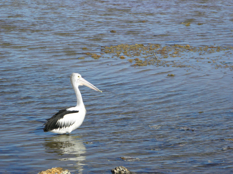 water - the symbol of the menstruating woman - nutrition - pelican in the lake