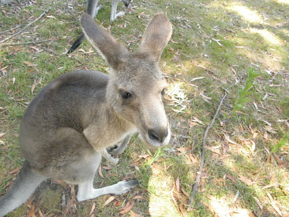 beautiful wallaby that is worth saving - Jane Goodall roots and shoots program and inspiring talk think inc
