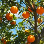 orange tree with orange fruit and blue sky