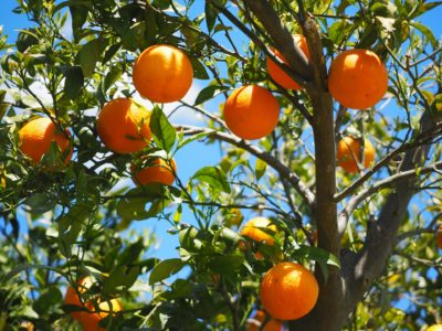 orange tree with orange fruit and blue sky