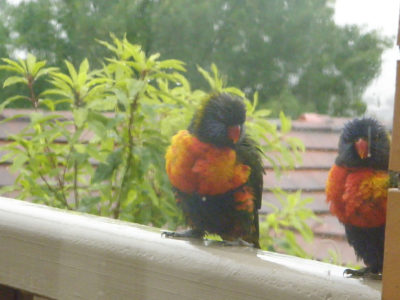 two multicoloured lorikeets sitting on the balcony rail in the rain - with trees and rooftops in the background