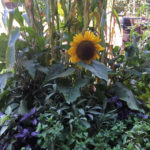 wayward tours sunflower in gardens in the city