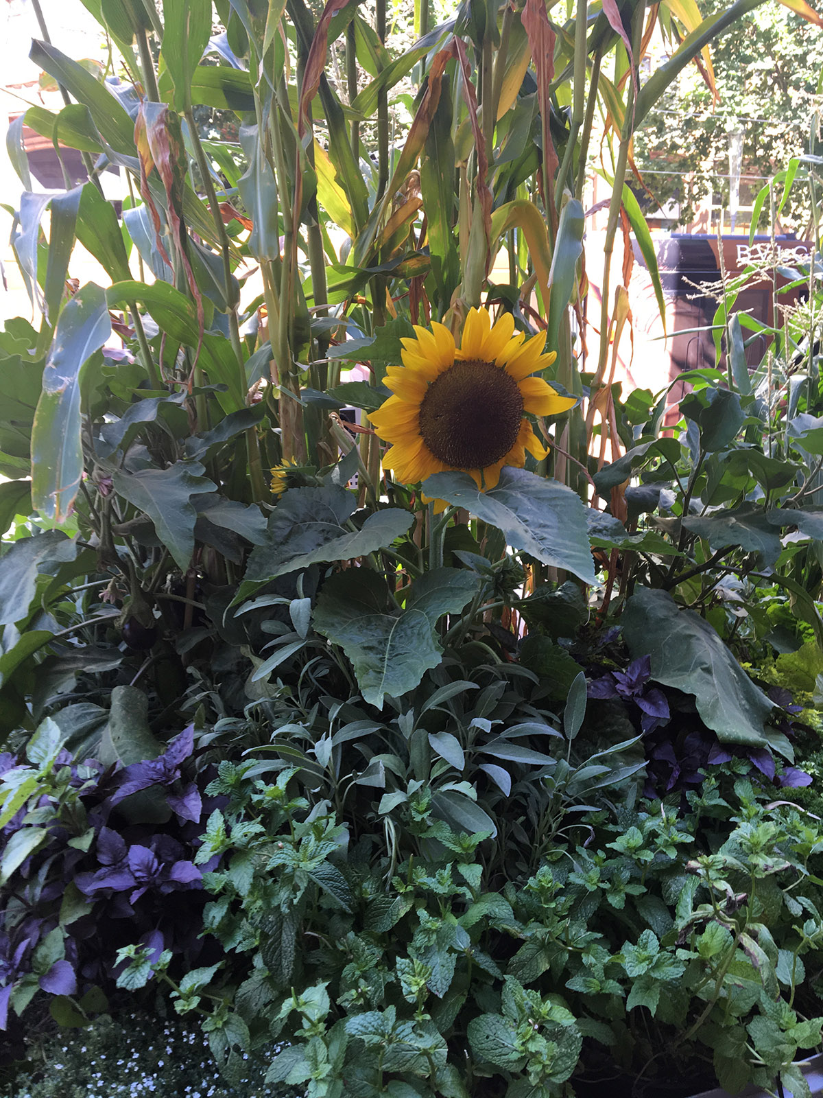 wayward tours sunflower in gardens in the city