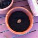 peach seed in pot with soil